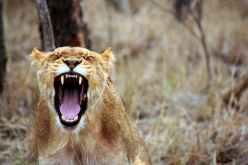 leo-animal-savannah-lioness-55814.jpeg